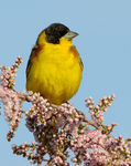 Title: Black headed bunting