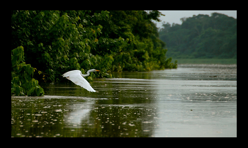 Great African Egret