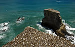Title: Gannets colony