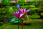 Title: royal water lily 2