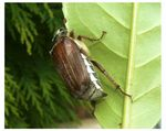 Title: Cockchafer Beatle