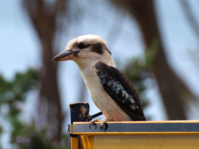 Another Kookaburra