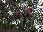 Title: Pink And Grey Galah