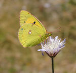 Title: Clouded Yellow - Colias croceusFuji S 7000