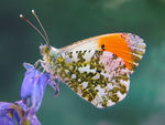 Title: Orange Tip 2