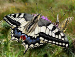 Title: Swallowtails