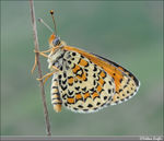 Title: Melitaea trivia  for Silvio