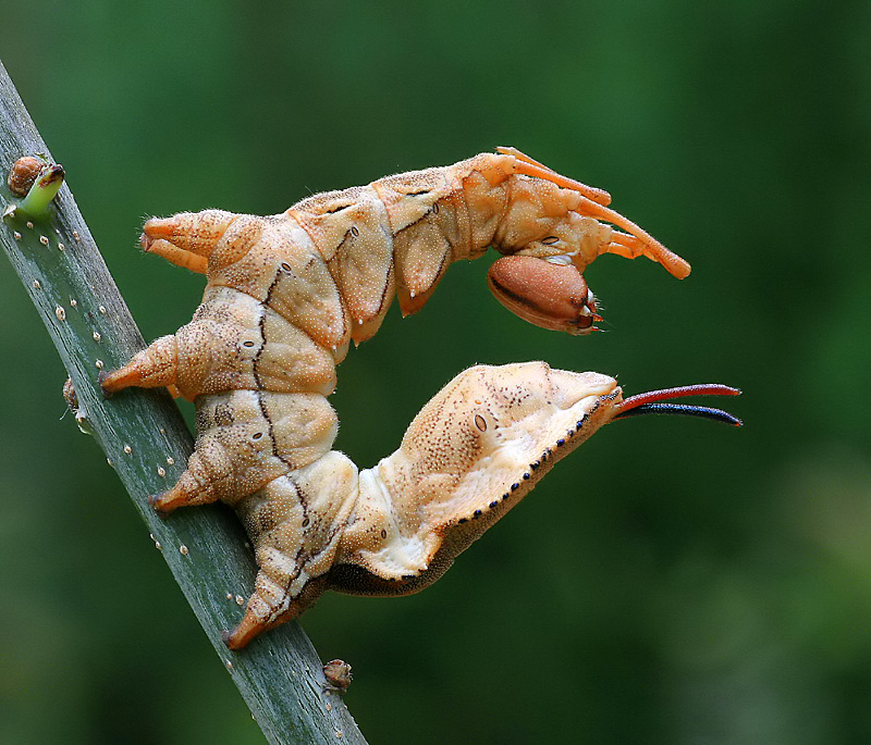 Lobster Moth Larva