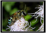 Title: ^Blue Banded Bee^Kodak Easy Share Z980