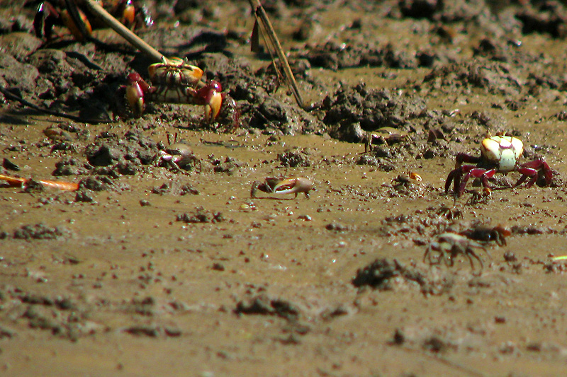 Crabs in the Mangrove