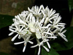 Title: White flower mantis