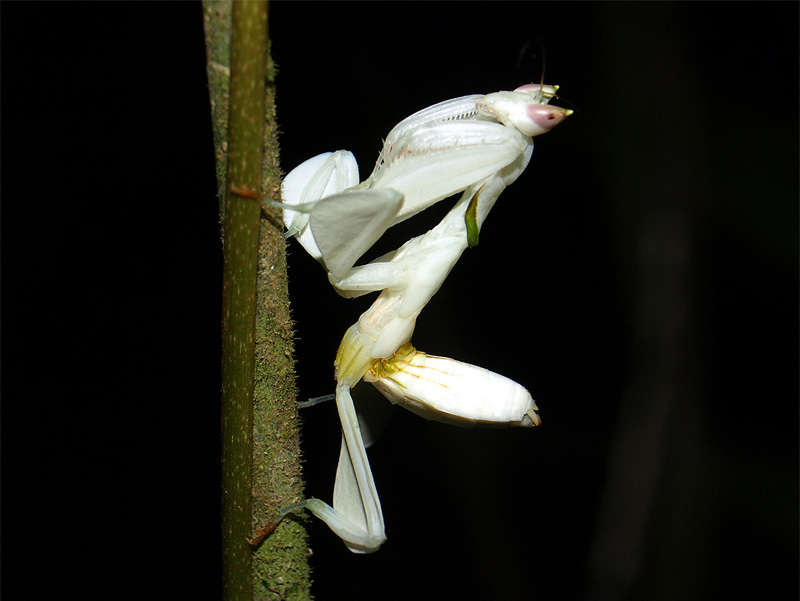 White mantis