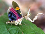 Title: Blue-wing Mantis - Creobroter germmata