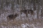 Title: White tail bucks