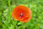 Title: Papaver rhoeas - Common Poppy