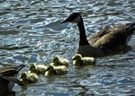 Title: Family of Geese