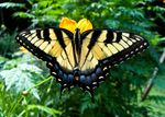 Title: Eastern Tiger Swallowtail