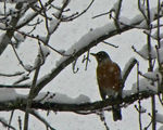 Title: Robin in the Snow