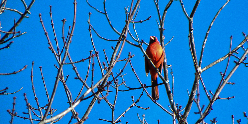 Cardinal in The Blue