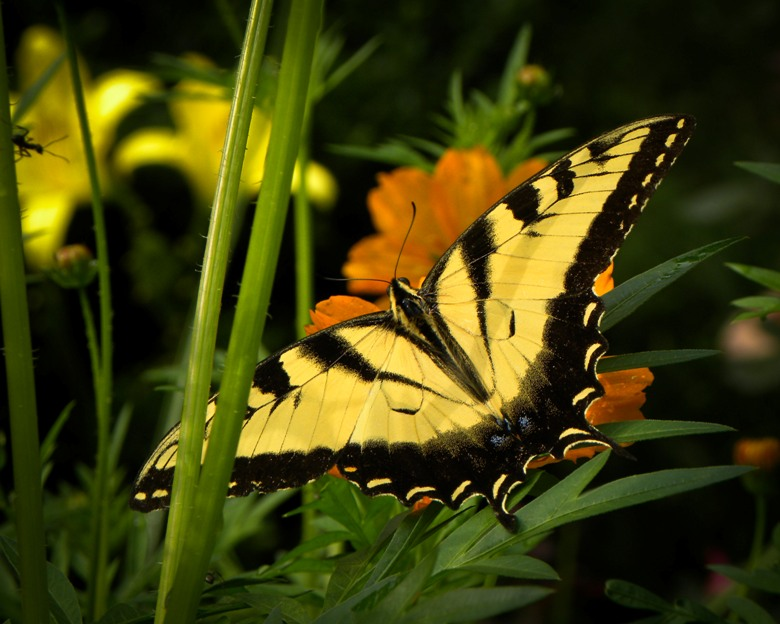 Butterfly on Cosmo