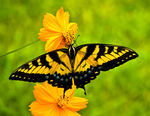 Title: Swallowtail on Cosmo