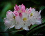 Title: Queen Alice Rhododendron