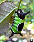 Title: Saddleback Caterpillar