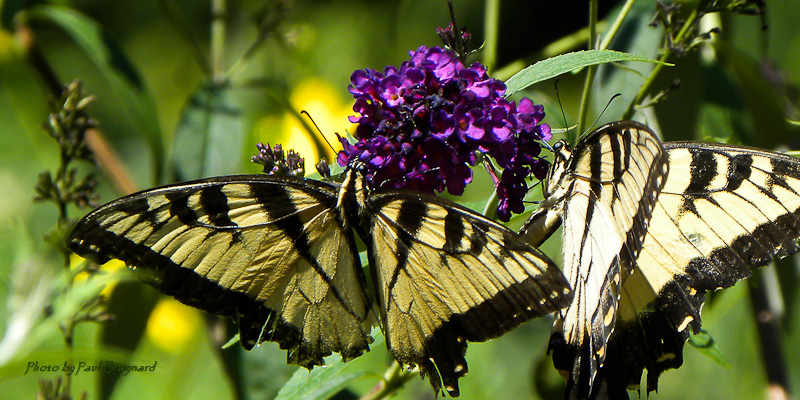 Two Swallowtails