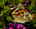 Title: Painted Lady