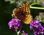Title: Variegated Fritillary