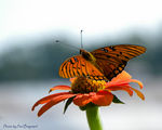 Title: Fritillary on Mexican Sunflower