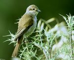 Title: Mrs. Red-backed Shrike