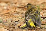 Title: Greenfinch-juvenille