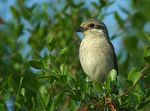 Title: redbacked shrike(female)Canon EOS 350D