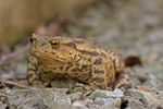 Title: Common Toad