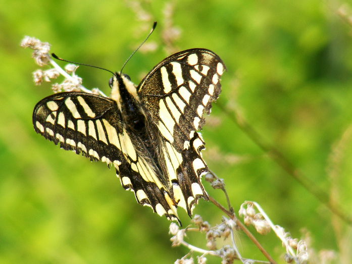 Swallowtail in China