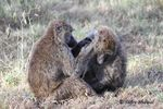 Title: Caring Baboons!!!