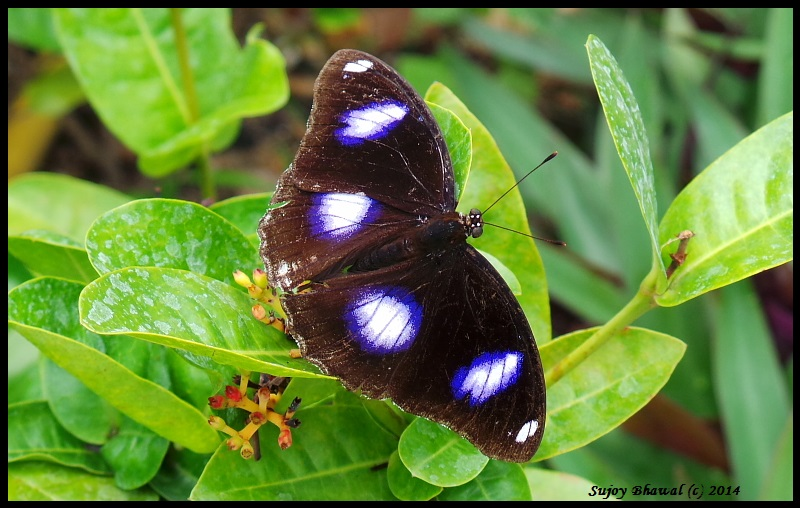 Common Eggfly