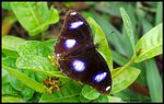 Title: Common Eggfly