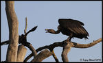 Title: Indian White Rumped Vulture