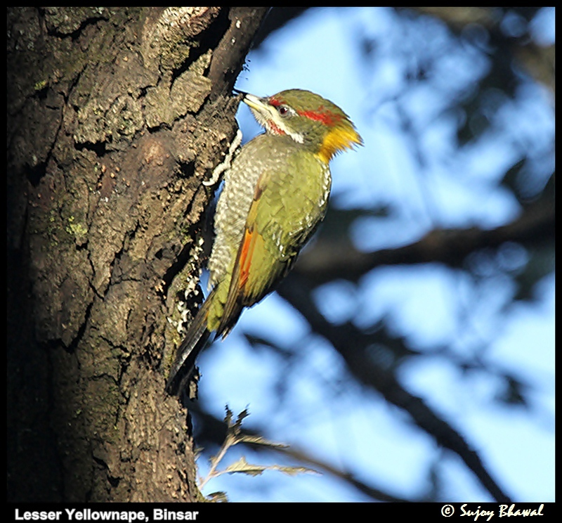Lesser Yellownape Woodpecker