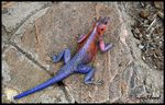 Title: Red-headed Rock Agama