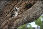 Title: Collared Scops Owl