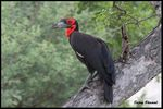 Title: Southern Ground Hornbill