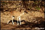 Title: Chital..