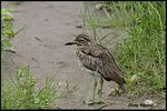 Title: Spotted Thick Knee