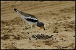 Title: White-crowned Plover