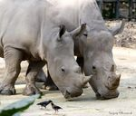 Title: Can I kiss you.. White Rhinoceroses