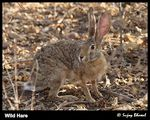 Title: Black Naped	 Hare