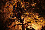 Title: Floodlit tree